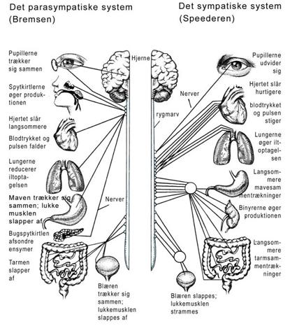 autonome nervesystem angst